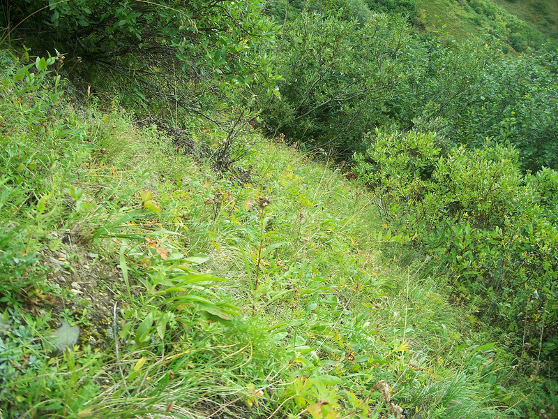 American alpine speedwell - Veronica wormskjoldii var. wormskjoldii (VEWOW)