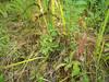 Arctic starflower - Trientalis europaea (TREU)