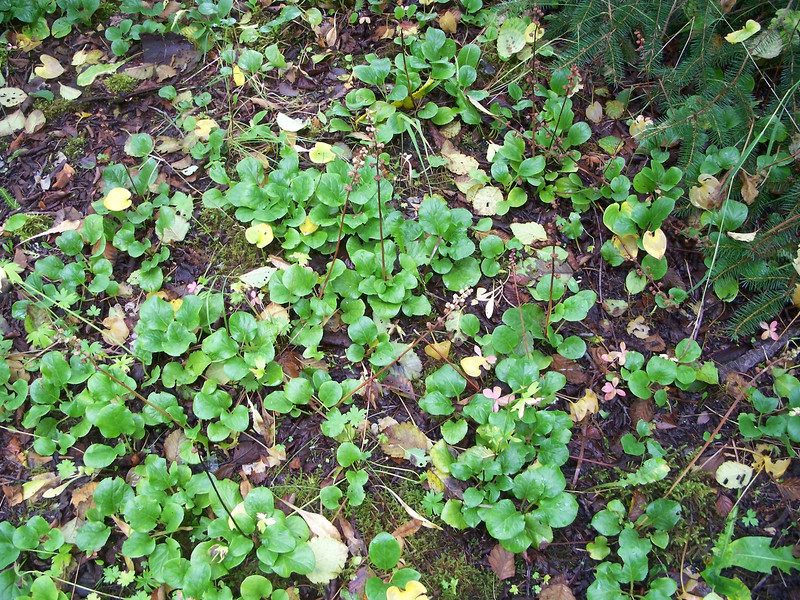 Liverleaf wintergreen - Pyrola asarifolia (PYAS)