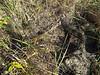 Sweetgrass - Hierochloe odorata (HIOD)