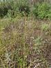 Closedhead sedge - Carex norvegica ssp. inferalpina (CAME9)