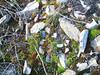 Mountain harebell - Campanula lasiocarpa (CALA7)