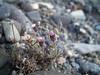 Purple fleabane - Erigeron purpuratus (ERPU3)