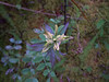 Alaska Indian paintbrush - Castilleja unalaschcensis (CAUN4)