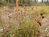 Chestnut rush - Juncus castaneus (JUCA6)