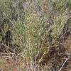 Arrowweed - Pluchea sericea (PLSE)