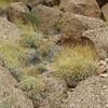 Brittlebush - Encelia farinosa (ENFA)