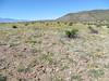 California poppy - Eschscholzia californica subsp. mexicana (ESCAM)