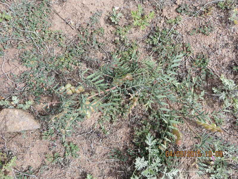 freckled milkvetch - Astragalus lentiginosus (ASLE8)