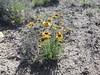 red dome blanketflower - Gaillardia pinnatifida (GAPI)