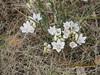 largeflower onion - Allium macropetalum (ALMA4)