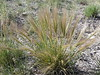 squirreltail - Elymus elymoides (ELEL5)