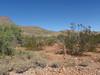 Desert zinnia - Zinnia acerosa (ZIAC)
