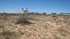 Desert palafox - Palafoxia arida (PAAR8)