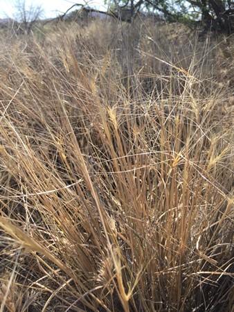 Eastern Mojave buckwheat - Eriogonum fasciculatum var. polifolium (ELEL5)