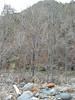 Arizona alder - Alnus oblongifolia (ALOB2)