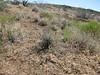 Dwarf horseweed - Conyza ramosissima (CORA4)