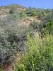 Snapdragon penstemon - Keckiella antirrhinoides (KEAN)