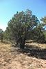 Alligator juniper - Juniperus deppeana (JUDE2). Photo by J. Johnson.