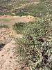 Desert beardtongue - Penstemon pseudospectabilis ssp. connatifolius (PEPSC)