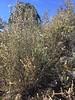 Alderleaf mountain mahogany - Cercocarpus montanus (CEMO2)