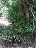 Golden columbine - Aquilegia chrysantha (AQCH)