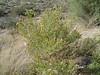 Turpentine bush - Ericameria laricifolia (ERLA12)