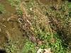 Seep monkeyflower - Mimulus guttatus (MIGU)