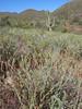 Arizona popcornflower - Plagiobothrys arizonicus (PLAR)