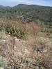Whiteflower prairie clover - Dalea albiflora (DAAL)
