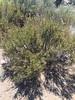 Narrowleaf yerba santa - Eriodictyon angustifolium (ERAN2)