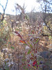 Hummingbird trumpet - Epilobium canum ssp. latifolium (EPCAL)