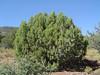 Oneseed juniper - Juniperus monosperma (JUMO)