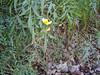 Arizona beggarticks - Bidens aurea (BIAU)