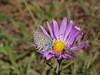 Alpine leafybract aster - Symphyotrichum foliaceum (SYFO2)