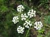 Parish's yampah - Perideridia parishii ssp. parishii (PEPAP2)