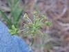 Alpine false springparsley - Pseudocymopterus montanus (PSMO)