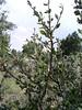 Alderleaf mountain mahogany - Cercocarpus montanus (CEMO2). Photo by Julie Crawford.