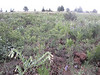 Giant-trumpets - Macromeria viridiflora (MAVI)
