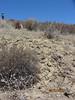 Eastern Mojave buckwheat - Eriogonum fasciculatum var. polifolium (ERFAP)