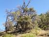 curl-leaf mountain mahogany - Cercocarpus ledifolius var. intercedens (CELEI)
