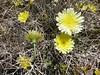 Smooth desertdandelion - Malacothrix glabrata (MAGL3)