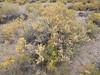 fourwing saltbush - Atriplex canescens var. canescens (ATCAC)