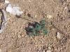 Anderson's buttercup - Ranunculus andersonii (RAAN)