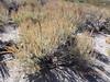 mountain big sagebrush - Artemisia tridentata subsp. vaseyana (ARTRV)