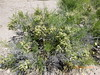 Burrobrush - Hymenoclea salsola var. salsola (AMSA7)