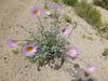 Mojave woodyaster - Xylorhiza tortifolia (XYTO2)