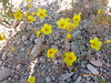 Shining blazingstar - Mentzelia nitens (MENI2)