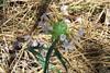 Grand collomia - Collomia grandiflora (COGR4)  Photo by Jonathon Goldhammer