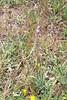Creeping sage - Salvia sonomensis (SASO)  Photo by Jonathon Goldhammer
